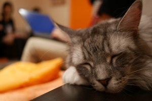 A typical scene at the cat cafe - cats sleeping