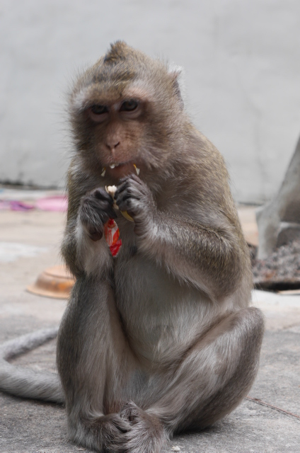 One of the resident monkeys at Wat Phnom