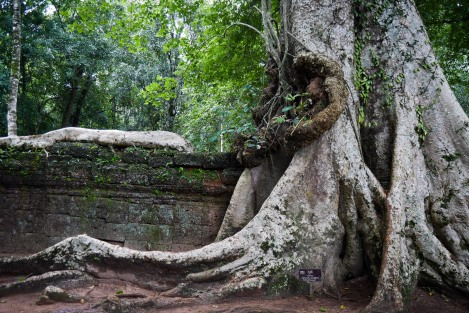 One of the gigantic ancient trees at Ta Prohm